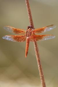 An Orange Dragonfly on an Orange Reed by Tom Murphy