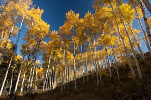 Aspen Trees in Grand Teton National Park in the Fall by Tom Murphy