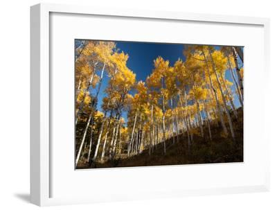 Aspen Trees in Grand Teton National Park in the Fall