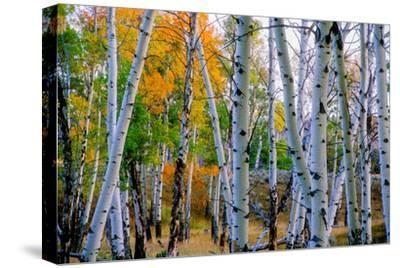 Aspen Trees in the Fall by Tom Murphy
