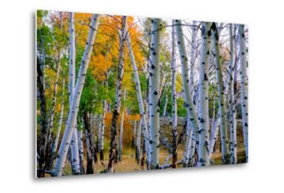 Aspen Trees in the Fall