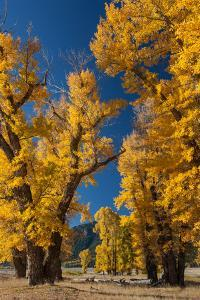 Backlit View of Cottonwood Trees with Autumn Foliage by Tom Murphy