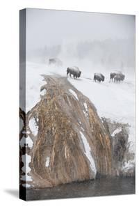 Bison Near the Firehole River in a Snowstorm by Tom Murphy