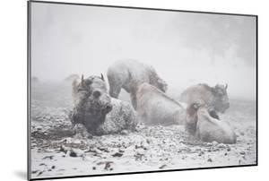Bison Resting in a Snowstorm by Tom Murphy