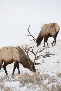 Bull Elks Graze in a Snow Covered Prairie by Tom Murphy