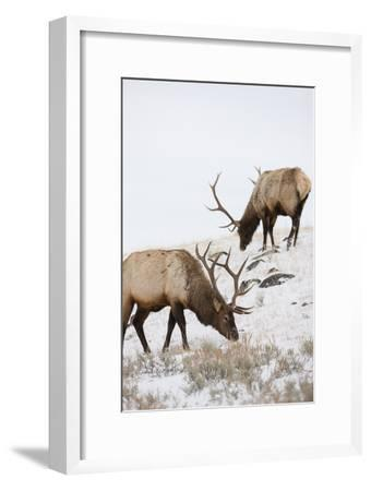 Bull Elks Graze in a Snow Covered Prairie
