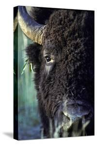 Close Up of a Bull Bison with Leaves Tangled in His Ear by Tom Murphy