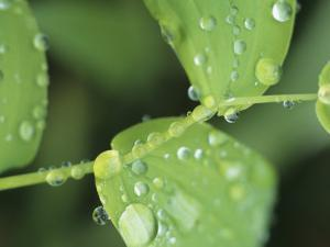 Close View of Foliage and Twisted Stem with Glistening Drops of Dew by Tom Murphy