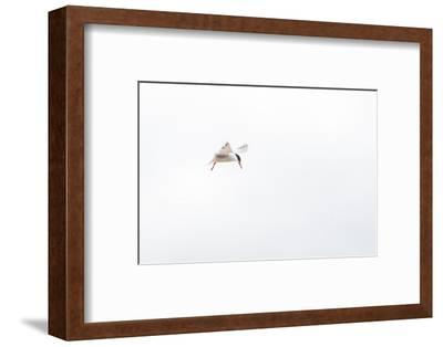 Common Tern, Sterna Hirundo, in Flight