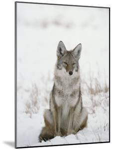 Coyote Sits in the Snow by Tom Murphy