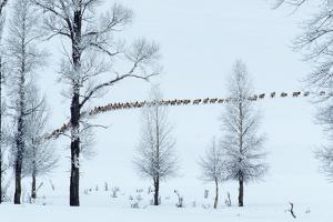 Elk Move across Open Land Along the Lamar River in Single File by Tom Murphy