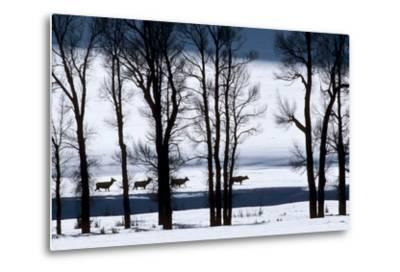 Elk Through Deep Snow in Single File Past Bare Cottonwood Trees Along the Lamar River