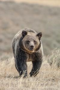 Front View of a Grizzly Bear in a Grass Field by Tom Murphy