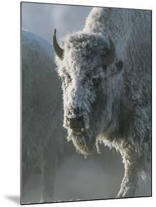 Frost Covers the Coat of an American Bison on a Chilly Morning by Tom Murphy