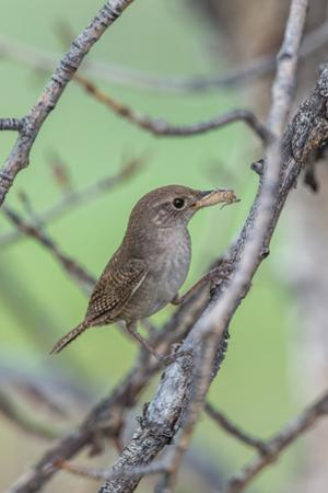 House Wren Perching on the Branch of a Tree with a Grasshopper in its Mouth