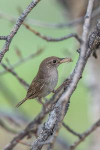 House Wren Perching on the Branch of a Tree with a Grasshopper in its Mouth by Tom Murphy