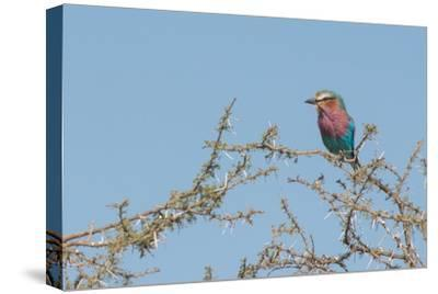 Lilac-Breasted Roller, Coracias Caudatus, Perching in a Thorny Tree
