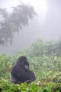 Mountain Gorilla, Gorilla Beringei Beringei, Resting in Misty Forest by Tom Murphy