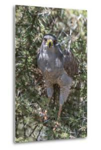 Pale Chanting Goshawk, Melierax Canorus, Perching in a Thorny Tree by Tom Murphy