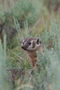 Portrait of a Badger Peeking Out from Sagebrush by Tom Murphy