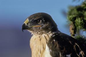 Portrait of a Young Ferruginous Hawk by Tom Murphy