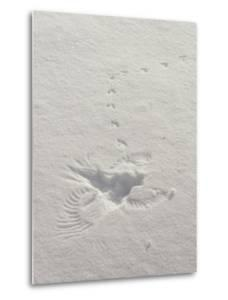 Prints in the Snow Mark the Scene Where a Hawk Caught a Meadow Vole by Tom Murphy