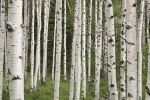 Quaking Aspen Tree Trunks in a Woodland by Tom Murphy