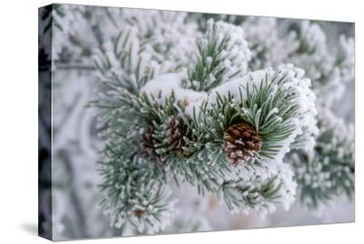 Snow Covers the Branches of a Lodgepole Pine Tree by Tom Murphy