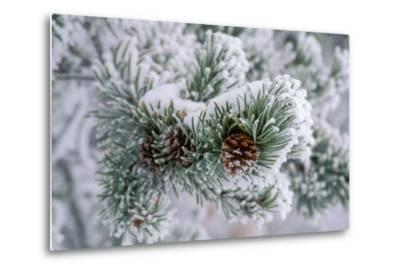 Snow Covers the Branches of a Lodgepole Pine Tree