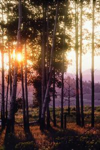 Sunlight Filters Through a Forest of Aspen Trees in Autumn by Tom Murphy