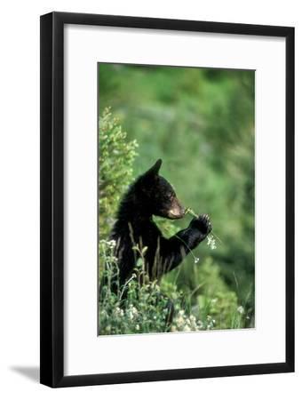 The American Black Bear Cub, Ursus Americanus, Sniffing Wildflowers