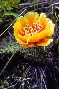 The Flower of a Prickly Pear Cactus by Tom Murphy