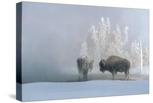Two Bison Bulls Soak Up the Heat from Steam Rising from Chromatic Spring in the Upper Geyser Basin by Tom Murphy
