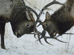 Two Bull Elk Lock Antlers in Confrontation by Tom Murphy