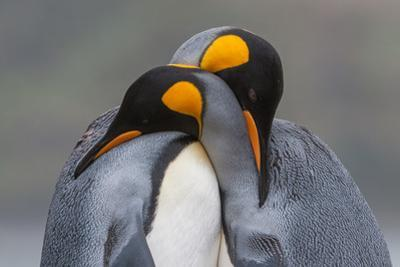 Two King Penguins Embrace by Tom Murphy