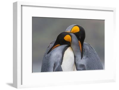 Two King Penguins Embrace