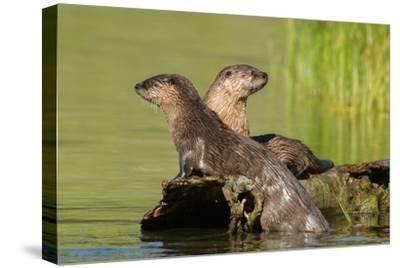 Two Northern River Otters Enjoying a Warm Summer Day