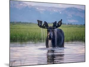 Water Pours from the Antlers of a Bull Moose Lifting His Head from Beaverdam Creek by Tom Murphy