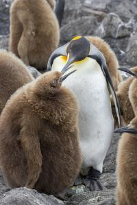 Adult King penguin with Chick. St. Andrews Bay, South Georgia Islands. by Tom Norring