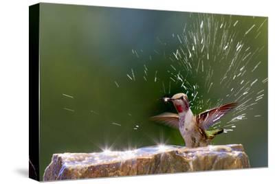 Anna's Hummingbird Taking a Shower, Santa Cruz, California, USA