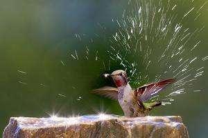 Anna's Hummingbird Taking a Shower, Santa Cruz, California, USA by Tom Norring
