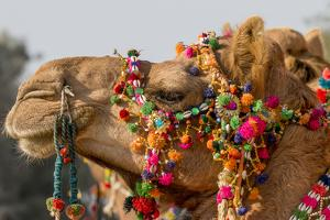 Camels Decorated for a Desert Festival. Jaisalmer. Rajasthan. India by Tom Norring