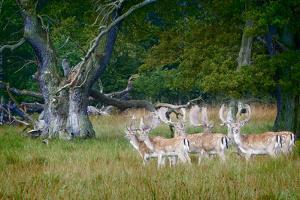 Fallow Deer. Dyrehaven. Denmark by Tom Norring