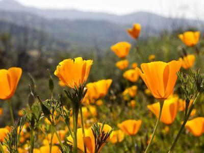 Golden California Poppies, Santa Cruz Coast, California, USA