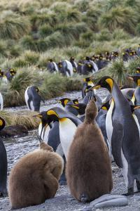 King penguin rookery on Gold Harbor. South Georgia Islands. by Tom Norring