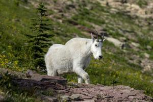 Mountain Goat on the hillside. Glacier National Park. Montana. Usa. by Tom Norring