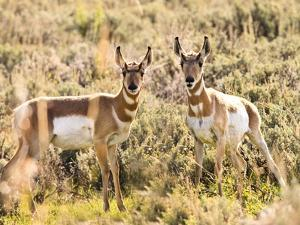 Prong Horn Antelopes, Yellowstone National Park, Wyoming, USA by Tom Norring