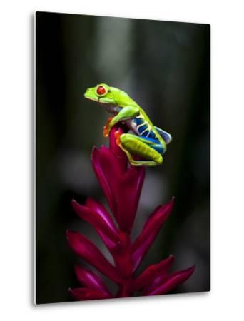 Red-Eyed Tree Frog. Sarapiqui. Costa Rica. Central America