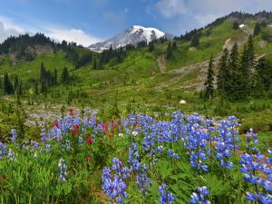 Wildflowers on Meadows, Mount Rainier National Park, Washington, USA by Tom Norring