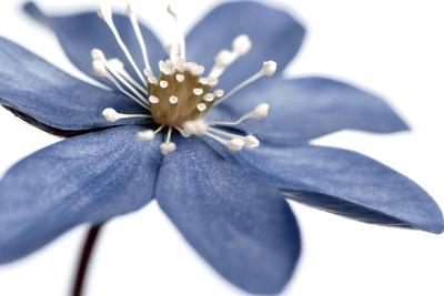 Blue Flower on White 2